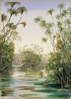 Papyrus or Paper Reed growing in the Ciane, Sicily...Marianne North
