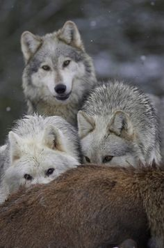 Forever the lone wolf Wolf Photos, Wolf Pictures, Wolf Love, Beautiful Creatures, Animals Beautiful, Tier Wolf, Malamute, Baby Animals, Cute Animals