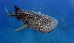 Poissons: Plongez avec les requins-baleines au récif de Ningaloo ! - Frawsy