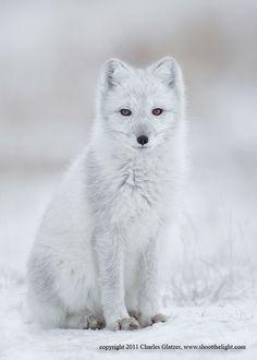 ~~Arctic fox  by Charles Glatzer~~
