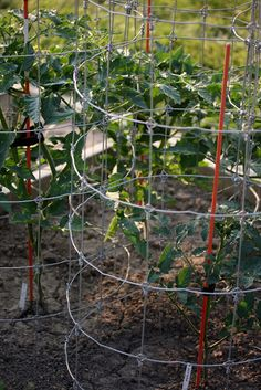 DIY Tomato Cages From FlowerPatch Farmgirl