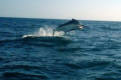 A #marlin rips across the stern of a boat in Northern Pacific of Costa Rica,