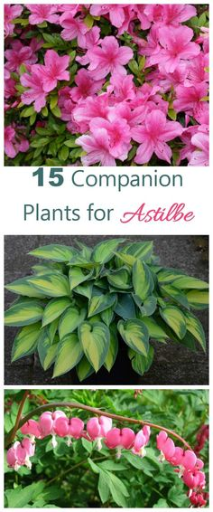 These 15 perennials and annuals make great astilbe companion plants. Most love the same shade and moisture requirements and make a great looking garden bed. - Outdoor Shade - Ideas of Outdoor Shade Garden Shrubs, Plants Under Trees, Shade Plants, Companion Planting, Perennials, Plants, Astilbe, Planting Flowers, Shade Garden Plants