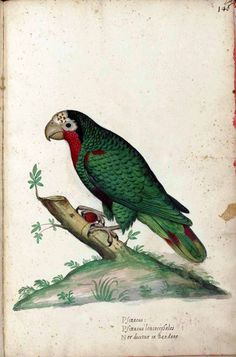 Italian Parrot, early naturalist image.