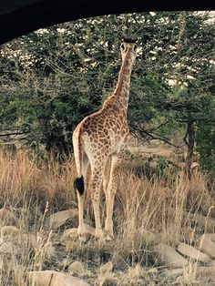 Giraffe spotted by the South Africa expedition team on a game drive