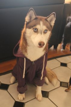 A husky wearing a hoodie. Your argument is invalid.