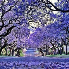 Johannesburg, South Africa - they were in bloom when we were there Out Of Africa, Beautiful Places In The World, Flowering Trees, Africa Travel, Beautiful Landscapes, Places To See, South Africa, Nature Photography, Travel Photography