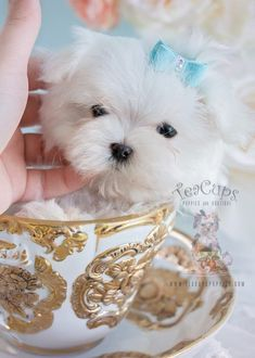 Tiny Maltese Puppy By Teacups Luxury Puppy Boutique Teacup