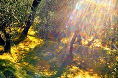 pioggia di luce nell'uliveto   Explore gianluca zanaboni's p…   Flickr - Photo Sharing!