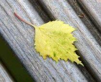 Σημύδα η κρεμοκλαδής Betula pendula