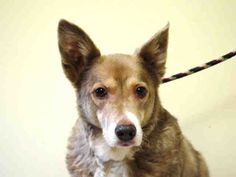 SUPER URGENT BEAUTY – A1032757 FEMALE, BROWN / WHITE, SIBERIAN HUSKY / GERM SHEPHERD, 11 yrs OWNER SUR – EVALUATE, NO HOLD Reason PET HEALTH Intake condition GERIATRIC Intake Date 04/10/2015