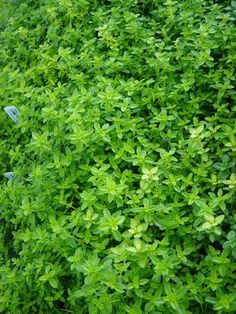 Lime thyme - thyme is ordinarily thought of as woolly and dowdy in color, but this variety practically shines in vivid green. Plant it next to a stone walkway for a special treat.
