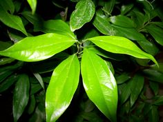 <p>Cinnamon+is+a+spice+made+of+the+dried+bark+of+the+True+cinnamon+or+Ceylon+cinnamon.+It+is+a+small+evergreen+tree++which+originates+from+Sri+Lanka.</p>