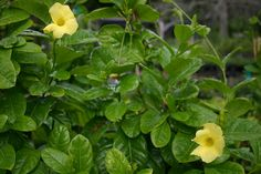 Wild Allamanda @ Florida Native Plants Nursery