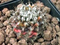 Turbinicarpus gracilis X klinkerianus X mombergerii variegata