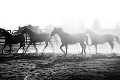 tylerknott:    Welcome to Montana.  4 Horses & Sunflares BW (by Tyler Knott)