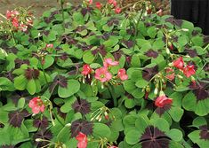 Happiness clover variety 'Iron Cross' is decorative in large pots with many plants together.