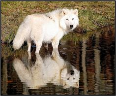 kalo wolvesnya ky gini mau pelihara :3