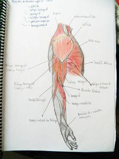 Muscles of the arms