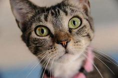 JennyLynn-an-adoptable-cat-in-Mississippi