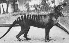 The Tasmanian Tiger (now extinct) in 1933.