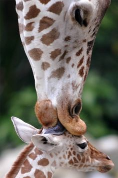 to a giraffe, kissing your kid with tongue ain't weird... it's adorable