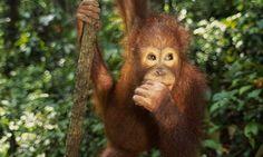 An orang-utan in Borneo. Photograph: Frans Lanting/Corbis