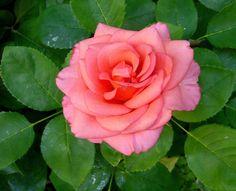Rose 3 by KisaragiChiyo.deviantart.com on @deviantART