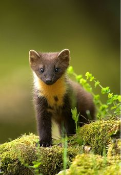 I am not exactly sure what this animal is like, but he looks cute & cuddly, in a perfect world, eh? A young pine Marten