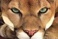 Symbolic Mountain Lion Meaning - symbol of the sun dancer, and carries eloquent symbolism of being the sublime solitary hunter, this totem animal has the magic of charisma and...   www.UniverseofSymbolism.com