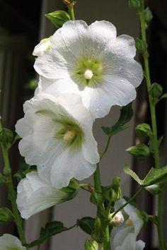 Flower Beds, My Flower, Flower Power, Hollyhocks Flowers, Flowers Perennials, White Roses, White Flowers, Bloom Blossom, Moon Garden