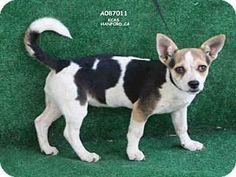 Pembroke Welsh Corgi Mix Puppy for adoption in Hanford, California - A087011