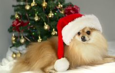 a photo of a Pomeranian puppy with a Christmas hat.
