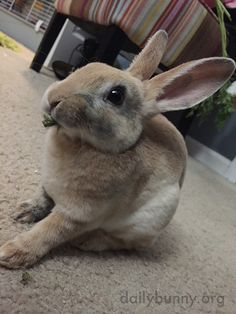 Bunny so delicately nibbles on a bit of green - November 26, 2016