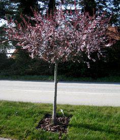 Prunus x cistena, svartplommon