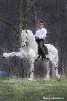 Friesian Appalossa Stallion