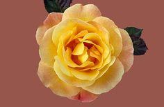 Růže, Floribunda Münchner Srdce