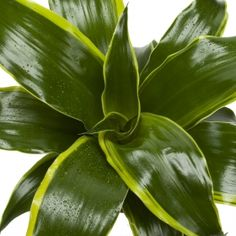 Dorado Dracaena- One of over varieties from Exotic Angel Plants®