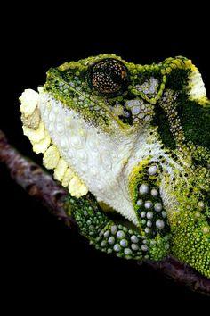 Bradypodion thamnobates (Natal Midlands Dwarf Chameleon)