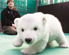 Baby baby polar bear his nose looks like a heart!