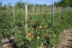 afectate și se distrug astfel ca să nu Tomato Farming, Permaculture, Wisteria, Diy And Crafts, Home And Garden, Landscape, Nature, Outdoor, Image
