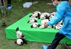中国四川省の成都パンダ繁殖育成研究基地でお披露目された赤ちゃんパンダ。中には台から転げ落ちる赤ちゃんも=29日(共同)