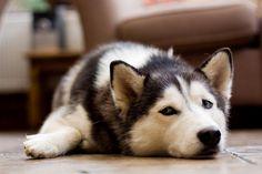 #dog #husky