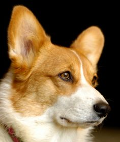 So pretty and so smart.  Pembroke Welsh Corgi