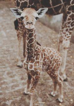 Resultado de imagen de jirafa bebe