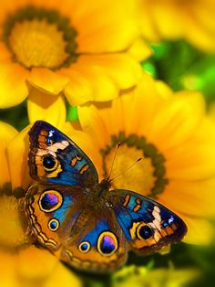Butterflies with many eyes.