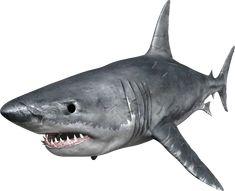 Shark PNG