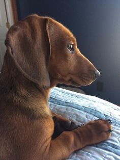 "Receive terrific suggestions on ""dachshund puppies"". Dachshund Breed, Dachshund Love, Cute Puppies, Cute Dogs, Weenie Dogs, Doggies, Most Popular Dog Breeds, Dog Life, I Love Dogs"