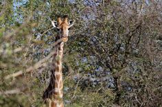 Stunning photo by Eden Safari Country House Giraffe, Safari, Country, Plants, House, Animals, Felt Giraffe, Animales, Rural Area