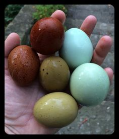 Great Fresh Chicken Eggs and Protein – Chicken In The Shadows Best Egg Laying Chickens, Keeping Chickens, Raising Chickens, Chicken Egg Colors, Chicken Eggs, Brown Eggs, Blue Eggs, Chicken Lady, Fresh Chicken